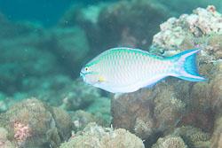 BD-130713-Maldives-0499-Scarus-tricolor.-Bleeker.-1847-[Tricolor-parrotfish].jpg